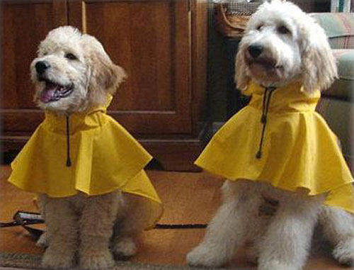 Goldendoodles in rain gear