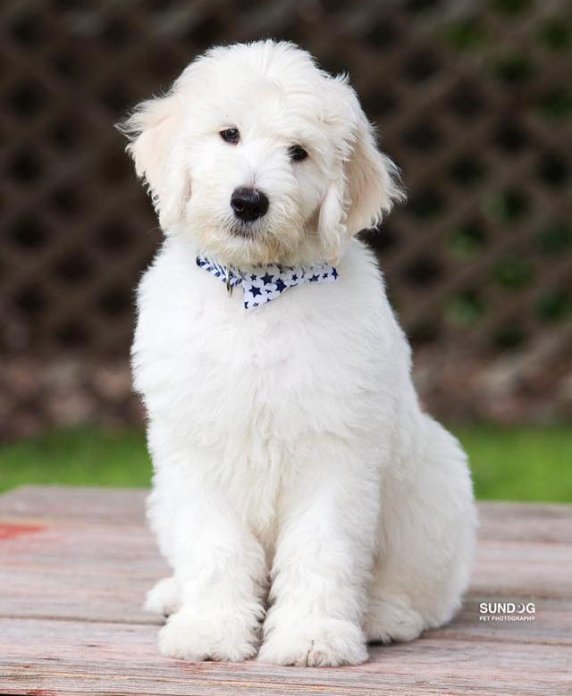 English Goldendoodle Puppy Sitting