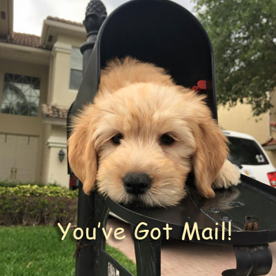 English Goldendoodle Puppies in Florida