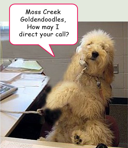 Contact Us at Moss Creek Goldendoodles in Florida