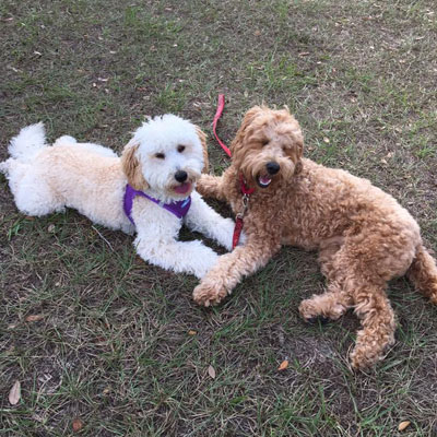 Moss Creek Goldendoodle Reviews