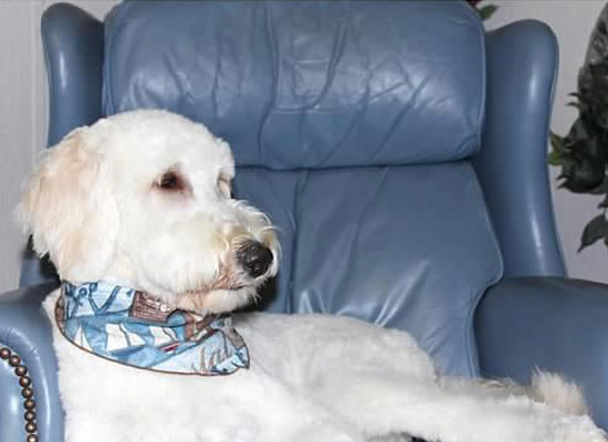 Sayler Therapy Goldendoodle at Safe Harbor