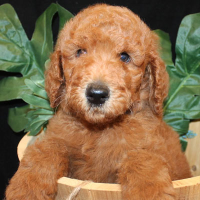 English Apricot Goldendoodles