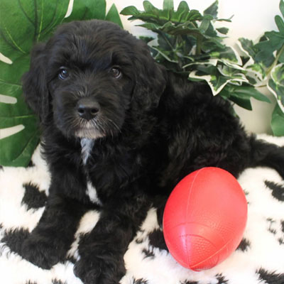 English Black Goldendoodles