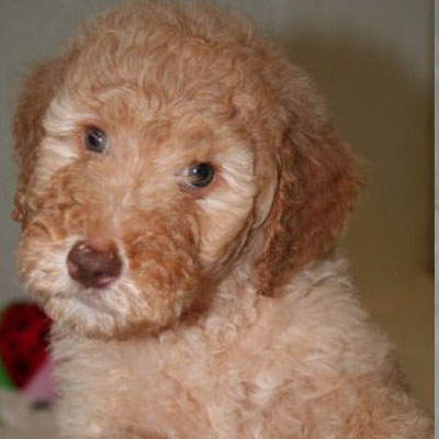 English Caramel Goldendoodles