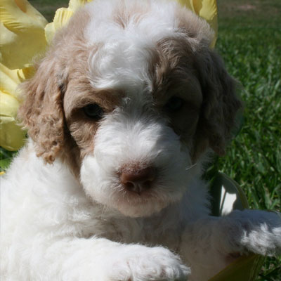 English Caramel and White Parti Goldendoodles
