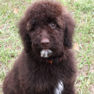 English Chocolate Goldendoodles