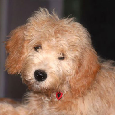 English F1 Goldendoodles