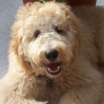 English F2 Goldendoodles