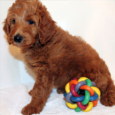 English Red Goldendoodles