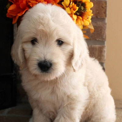 English White and Cream Goldendoodles